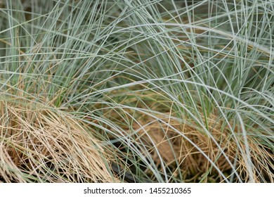 Blue Oat Grass. Photo of festuca glauca 'Elijah Blue' for background. Helictotrichon sempervirens Sapphire.