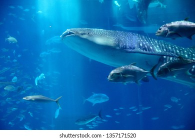 blue ocean underwater creatures,  Fish swimming with whale shark, background concept image.