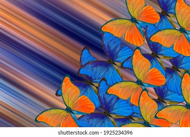 blue and orange background. bright blue and orange morpho butterflies on a colorful blurred background.