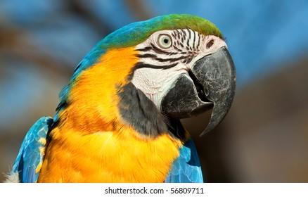 Blue and orange parrot looking closeup detail bright colour
