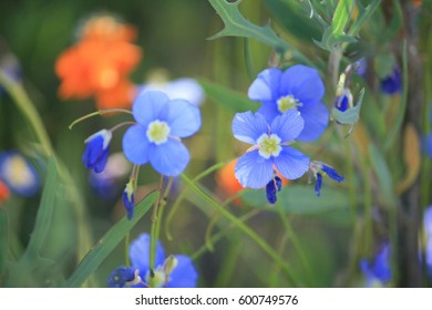 Blue and orange wild flowers in Namqualand in South Africa
