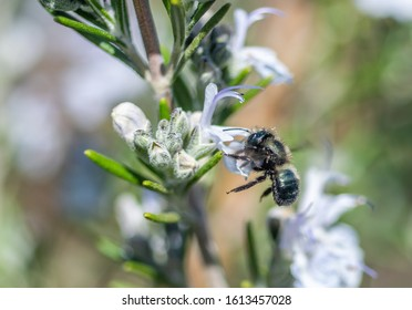 Blue Orchard Mason Bee (Osmia lignaria) pollinating a rosemary flower in a home garden
