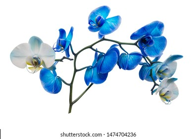 blue orchid branch isolated on white