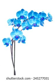 blue  orchid branch isolated on white background