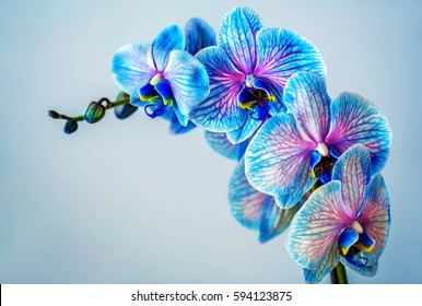 Blue orchid. Brunch of orchid with the blue flowers