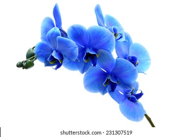 Blue orchid  flower isolated on white background