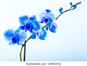 blue orchid on blue background