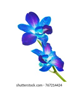 Blue orchid on the white
