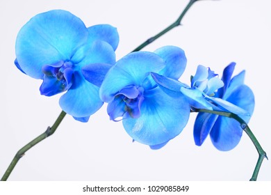 blue orchid on white background