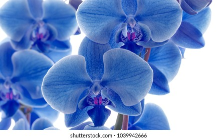 Blue orchid on a white background.