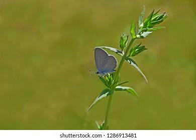 Sưu tập Bộ cánh vảy 3 - Page 36 Blue-osiris-butterfly-on-flower-260nw-1286913481