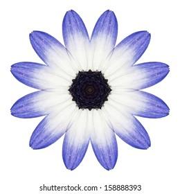 Blue Osteospermum Daisy Flower Kaleidoscope Isolated on White Background