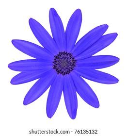 Blue Osteosperumum Flower Daisy Isolated on White Background. Macro Closeup