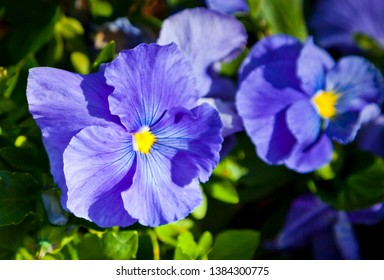 Blue Pansies on green floral background. Toowoomba Carnival of flowers, Queensland Australia.
