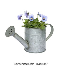 Blue pansies in a zinc watering can isolated on white.