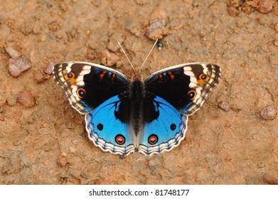 Blue Pansy butterfly (Junonia orithya) in Khao Yai National Park, Thailand