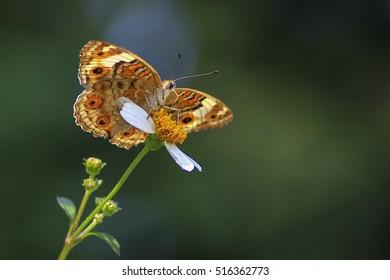 Blue Pansy Female (Junonia orithya wallacei), Beautiful Butterfly in A Garden