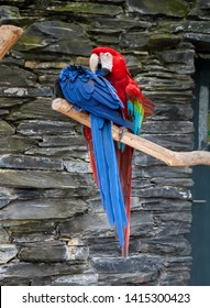 A blue parrot Scarlet Macaw, Ara macao, and a red Macaw Ara parrot, sitting on the tree branch