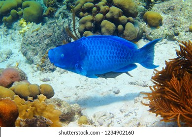 Blue parrotfish (Scarus coeruleus) swimming over the seabed with corals. Snorkeling with blue tropical fish. Corals, fish and sandy seabed.