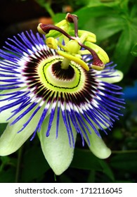 Blue passionflower closeup (Passiflora caerulea)