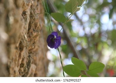 Blue Pea flower tropical edible plant closeup