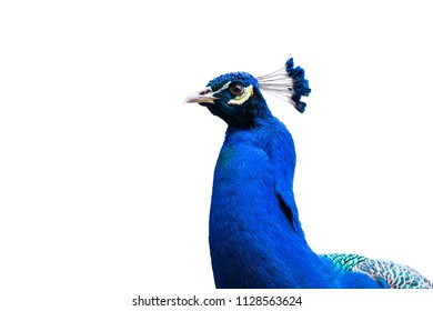 blue peacock isolated on white with clipping path