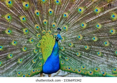 blue-peacock-shows-his-feathers-260nw-15