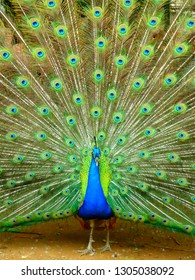 A blue peacock spreading its tail feathers