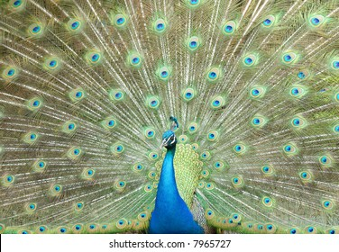 Blue peacock strutting with full feathers