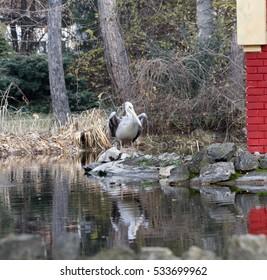 Blue Pelican in Palic Zoo, Subotica. Serbia