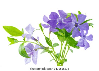 Blue Periwinkle flowers isolated on a white background