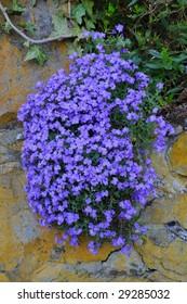 Blue Periwinkle (Vincas) - Apocynaceae