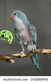 Blue pet bird on perch with Quaker Mutilation Syndrome plucked out leg chest and back feathers down to bare skin