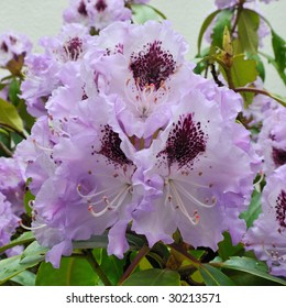 Blue Peter (Rhododendron) - Ericaceaey