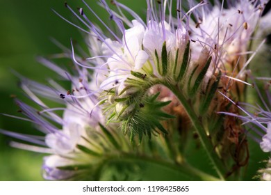 Blue phacelia, a plant grown for feed for farm animals. A honey and pollen plant also cultivated for beekeeping