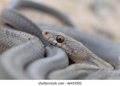 Texas Rat Snake Images, Stock Photos & Vectors   Shutterstock
