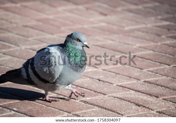 blue-pigeon-close-on-pavement-600w-17583