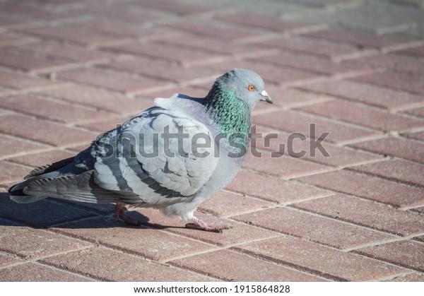blue-pigeon-on-pavement-city-600w-191586