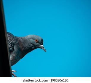 A blue pigeon sits on the roof and watches intently, against the blue sky. Space for your text. - Shutterstock ID 1983206120
