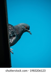 A blue pigeon sits on the roof and watches intently, against the blue sky. Space for your text. - Shutterstock ID 1983206123