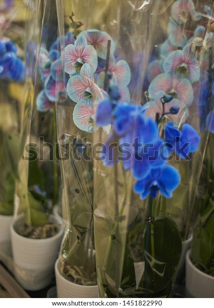 Blue & pink dyed phalaenopsis orchids on display for sale