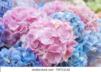 Blue and pink flowers of hydrangea close-up. Natural hydrangea flowers background, shallow DOF.