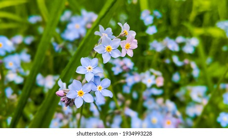 Blue and pink forget me not flowers blooming in green grass. Background (Forget-me-nots, Myosotis sylvatica, Myosotis scorpioides).