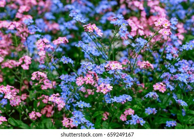 Blue pink forgetmenot flowers myosotis sylvatica stock photo blue and pink forget me not flowers myosotis sylvatica fantasy gentle mightylinksfo