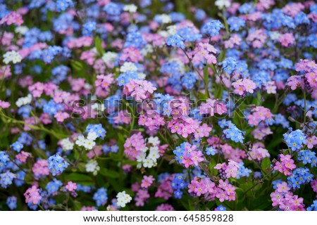 Blue pink forgetmenot flowers myosotis sylvatica stock photo edit blue and pink forget me not flowers myosotis sylvatica mightylinksfo