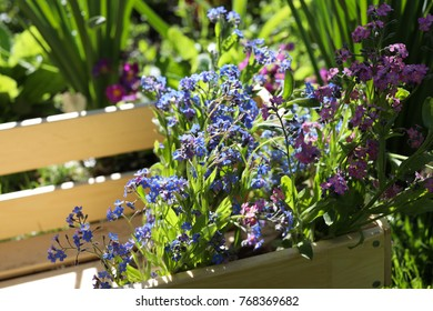 Blue and pink forget-me-nots in a wooden box in the spring garden.
