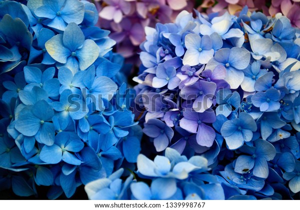 Blue Pink Hydrangea Flowers Ph Dependent Stock Photo Edit Now