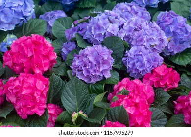 Blue and Pink Hydrangeas flowers in the garden