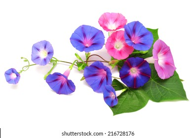 Blue and pink Morning Glory with leaf isolated on white background
