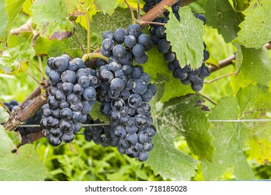 Blue pinot noir grapes with a little bit of rotting (pourriture) in the Champagne area in Champagne Ardenne, France.